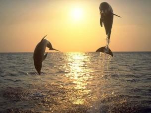 Пірнають і виринають, Злагоджено, як то вміють лише дельфіни, Одночасно, у ритмі балету, Згинаючись, розгинаючись, Виконуючи містки і переверти...