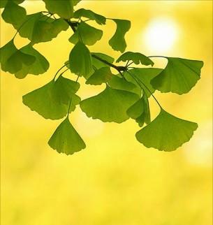 это дерево называют гинкго билоба,  каждый лист на нем перепонкой дрожит резной,  я смотрю на тебя всем телом, куда там в оба,  как, быть может, смотрел еще в мезозой...