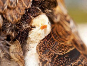 А она - здесь, здесь, здесь, в сердце моём тёплым живёт птенцом, в жилах моих...