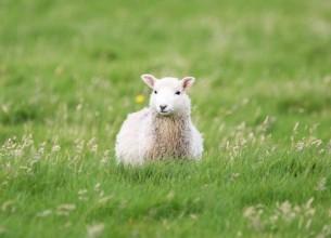 блуждала белая овца  кричала в поле над рекой  звала ягнят и мелких птиц  махала белою рукой...