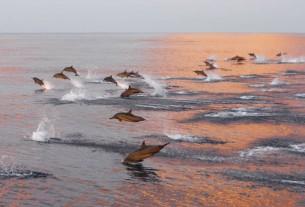 Рожеві дельфіни твоіх шрамів Торкаються плеса шкіри  в світлі захІдного сонця.